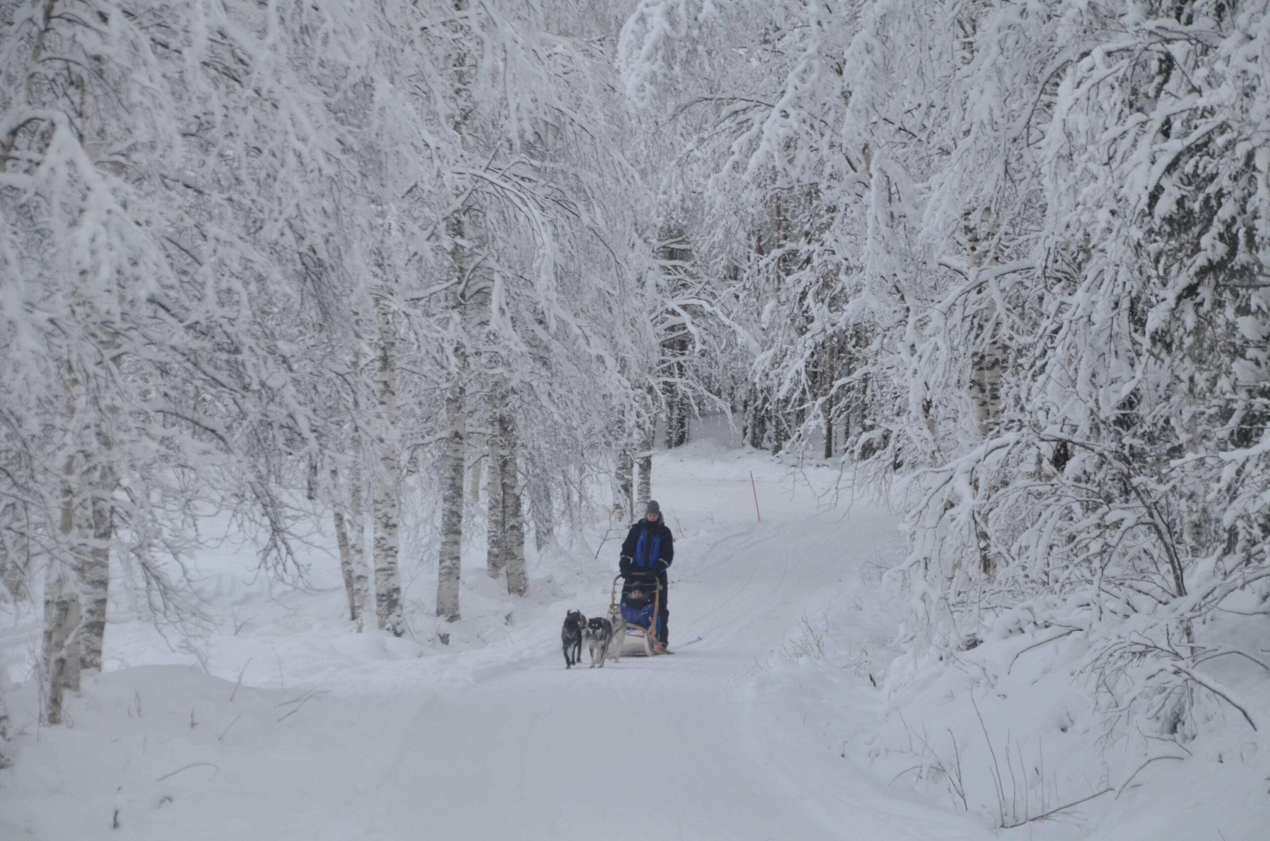 Husky Ride Rovaniemi Lapland