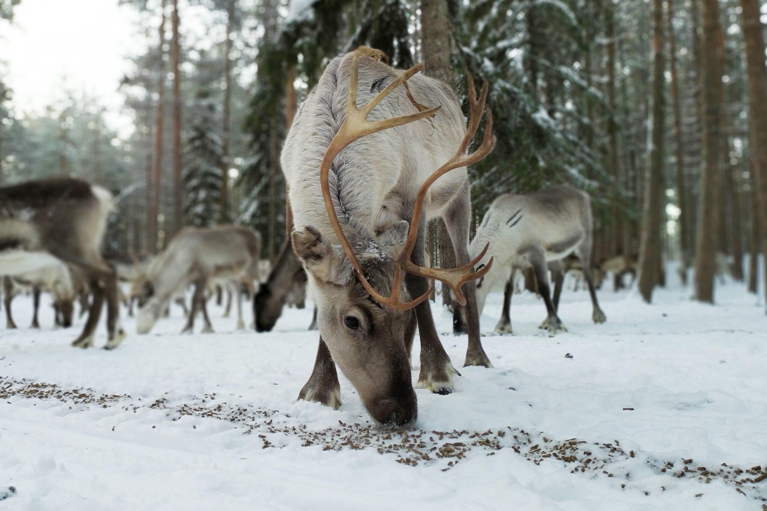Reindeer Farm Visit Rovaniemi