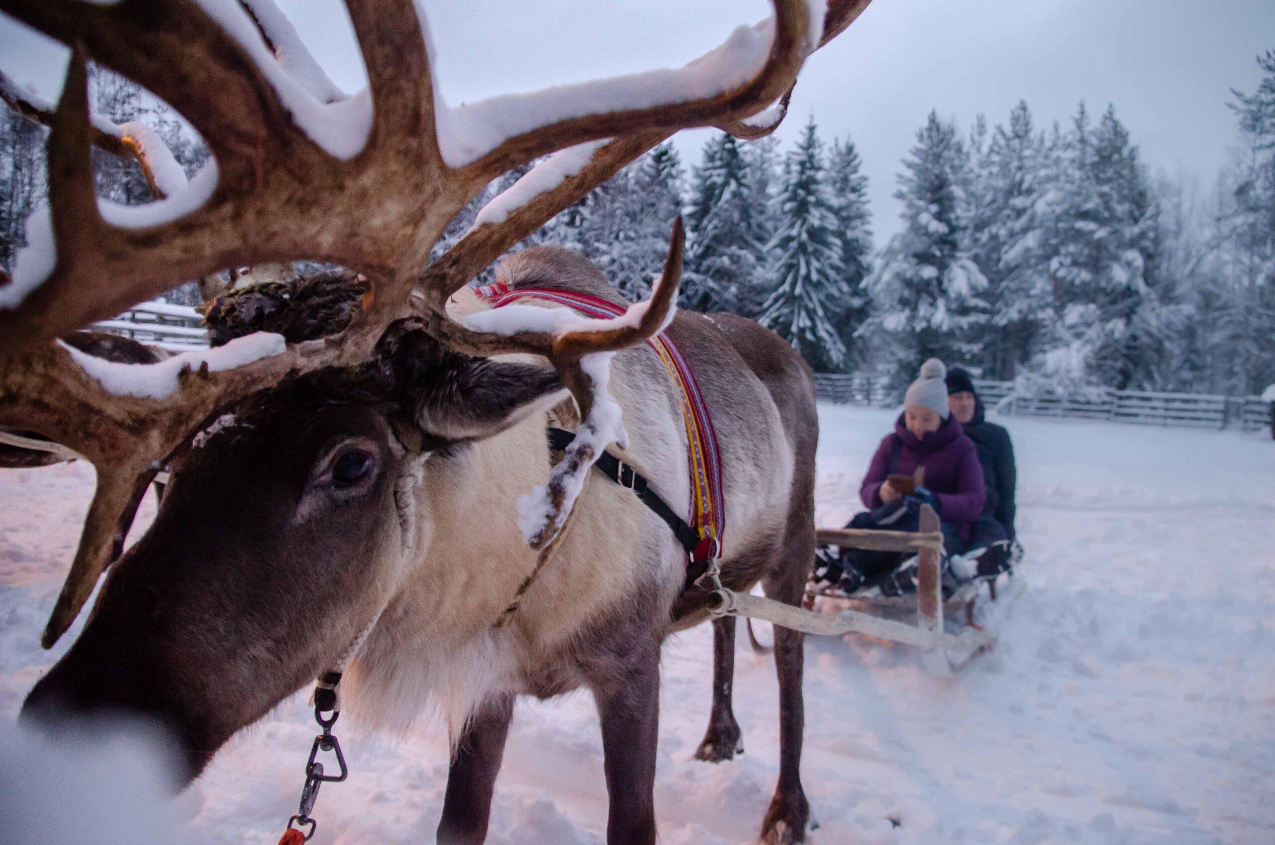 Reindeer Safari Rovaniemi